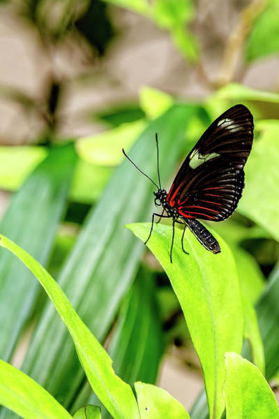 Photograph - Doris Longwing On Alert by Kay Brewer