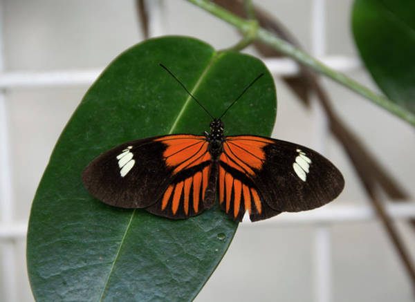 Photograph - Doris Longwing On Leaf by Jennifer Wick