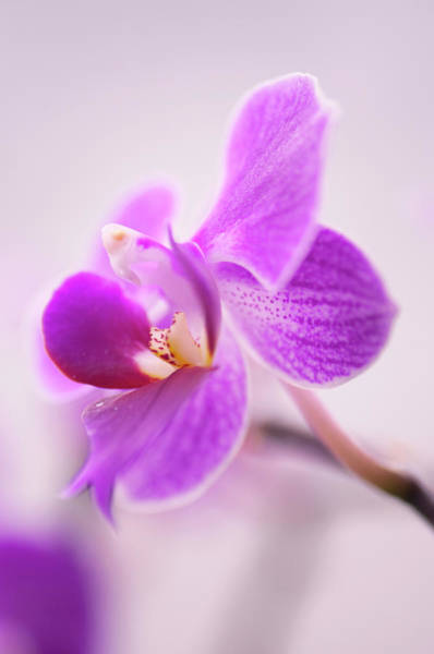 Rockville Photograph - Doritaenopsis Sogo Berry Flower, Little by Maria Mosolova