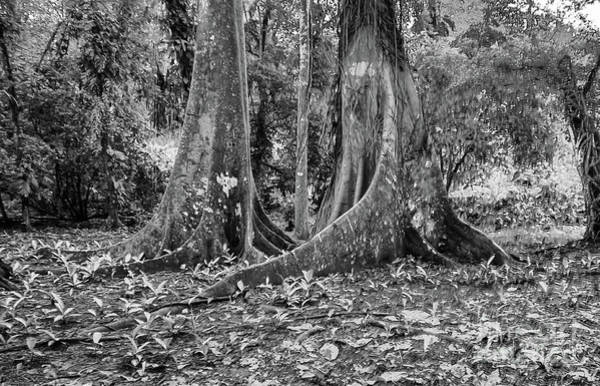 Cahuita Photograph - Double Buttress Trees In Black And White by Norma Brandsberg