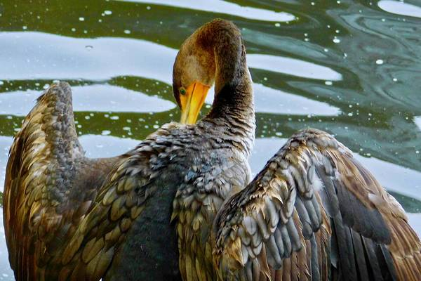 Photograph - Double-crested Cormorant by Dan Miller