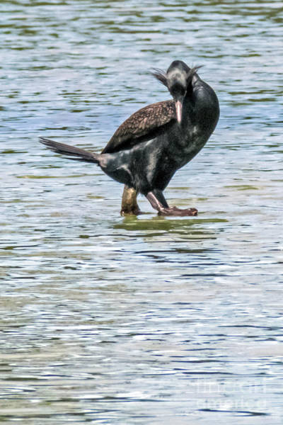 Photograph - Double-crested Cormorant by Kate Brown