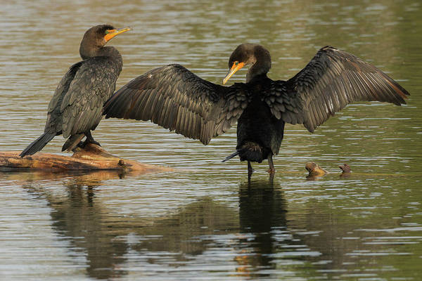 Phalacrocorax Auritus Wall Art - Photograph - Double-crested Cormorant Pair by Ken Archer