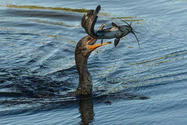 Phalacrocorax Auritus Wall Art - Photograph - Double-crested Cormorant With Catfish by Adam Jones