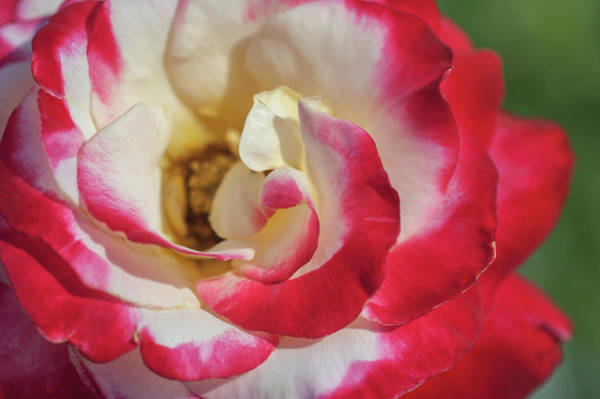 Photograph - Double Delight Rose Macro by Jenny Rainbow