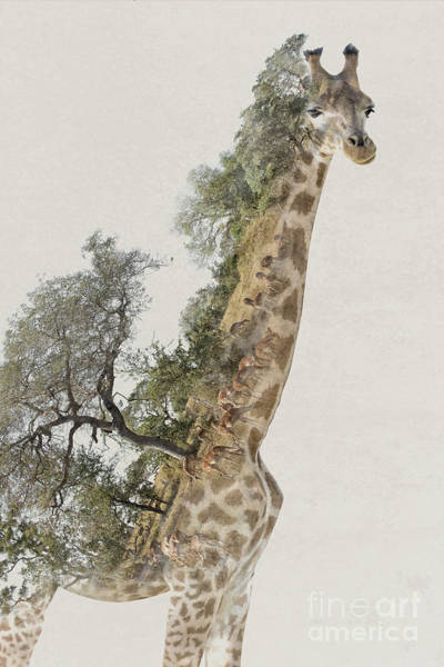 Long Neck Photograph - Double Exposure Giraffe by Delphimages Photo Creations