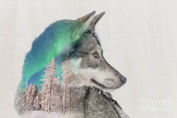 Up North Painting - Double Exposure Husky by Delphimages Photo Creations