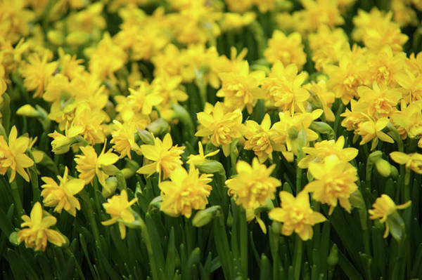 Photograph - Double Flowering Tete Boucle Dwarf Daffodils by Jenny Rainbow