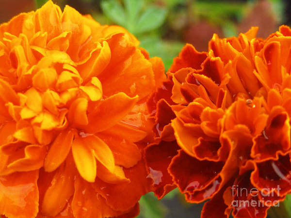 Photograph - Double Marigold by Robert Knight