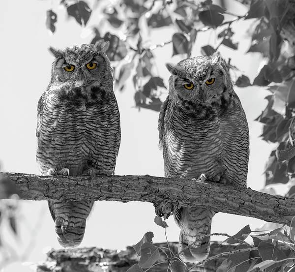 Photograph - Double Owl Bonus - Selective Color by Loree Johnson