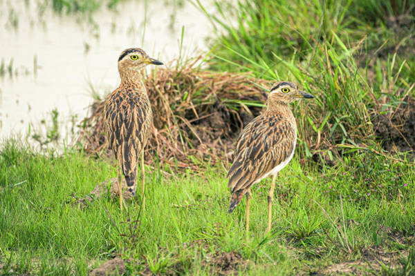 Photograph - Double Striped Thick Knee Hato Barley Tauramena Casanare Colombi by Adam Rainoff