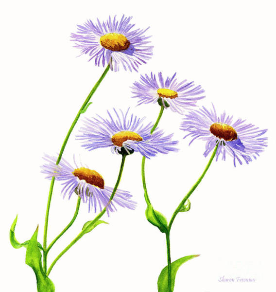 Freeman Wall Art - Painting - Douglas Aster Wild Flower by Sharon Freeman