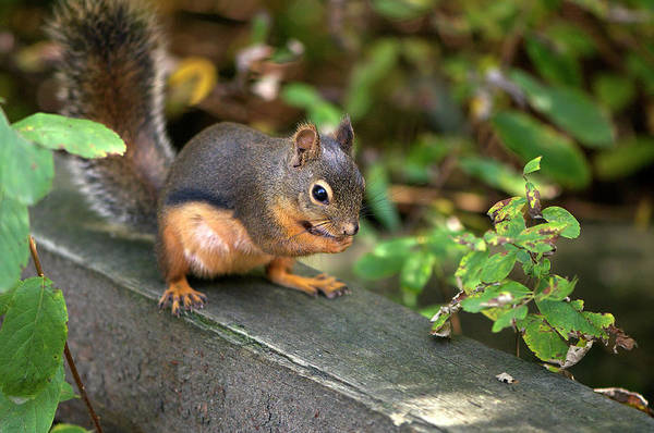Photograph - Douglas Squirrel With A Snack by Sharon Talson