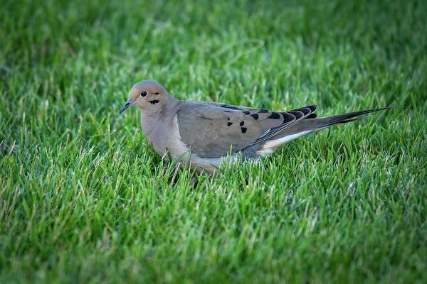 Photograph - Dove #1 by David Heilman