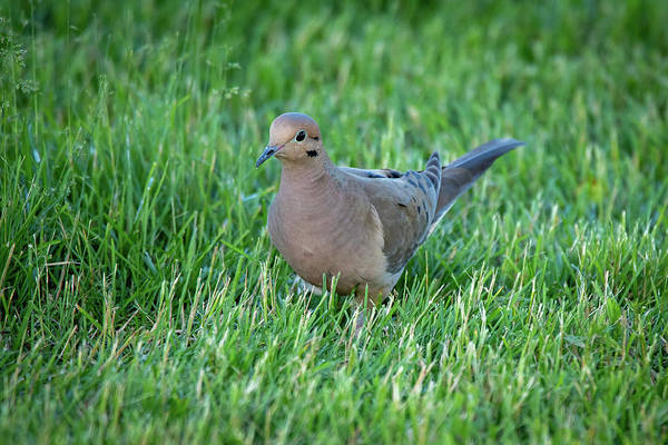 Photograph - Dove #2 by David Heilman