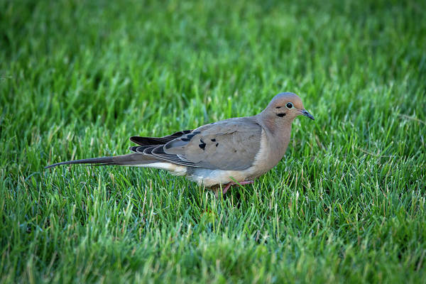 Photograph - Dove #4 by David Heilman