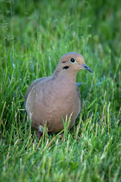 Photograph - Dove #6 by David Heilman