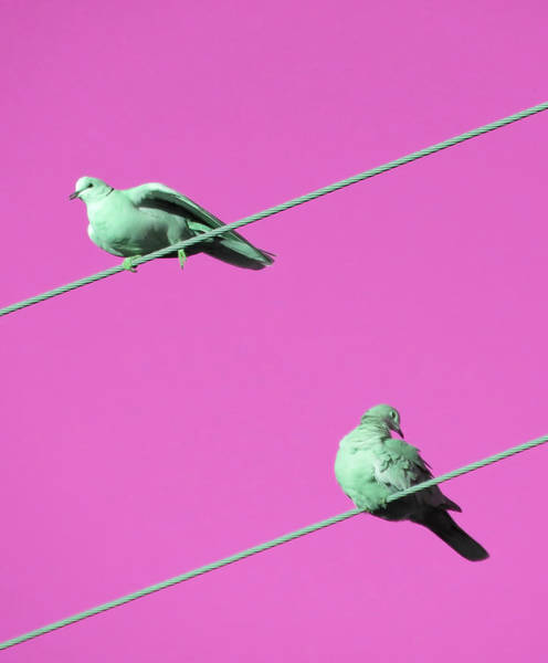 Photograph - Dove Duo In Pink by Judy Kennedy