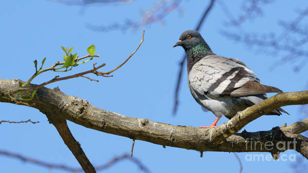 Photograph - Dove Perched On A Tree Branch by Pablo Avanzini