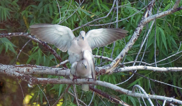 Photograph - Doves Mating 8851-042819 by Tam Ryan