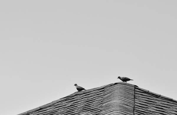 Photograph - Doves On Roof by Larah McElroy
