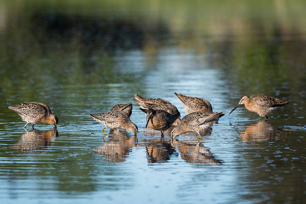 Photograph - Dowitchers Dining by Robert Potts