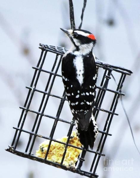 Photograph - Downy Woodpecker 29 by Lizi Beard-Ward