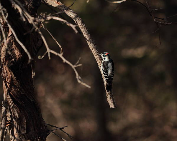 Photograph - Downy Woodpecker 4730 by John Moyer
