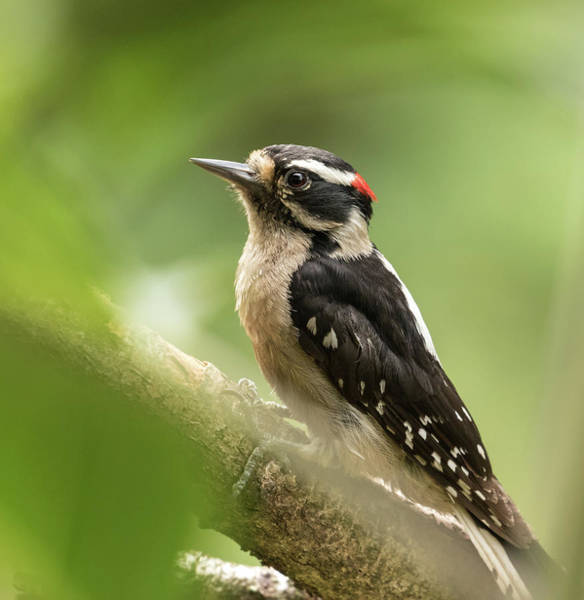 Wall Art - Photograph - Downy Woodpecker by Angie Vogel