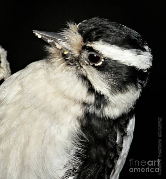Photograph - Downy Woodpecker Female by Debbie Stahre