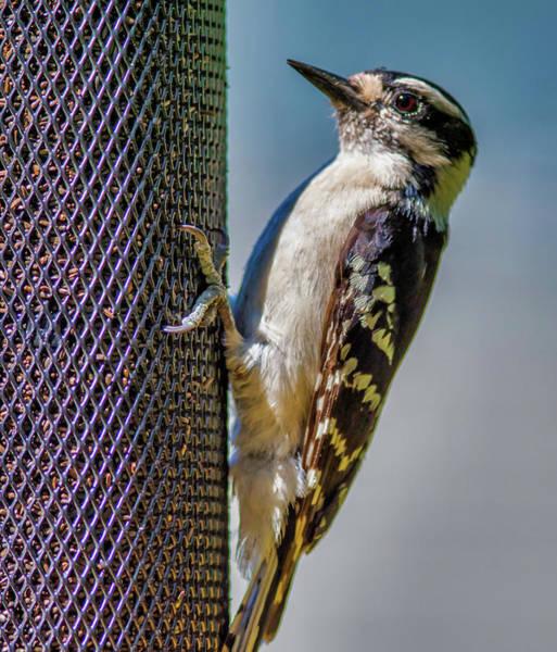 Wall Art - Photograph - Downy Woodpecker by Jeffry Warrington