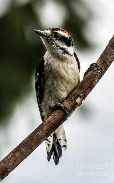 Wall Art - Photograph - Downy Woodpecker Posing For The Camera by Cindy Treger