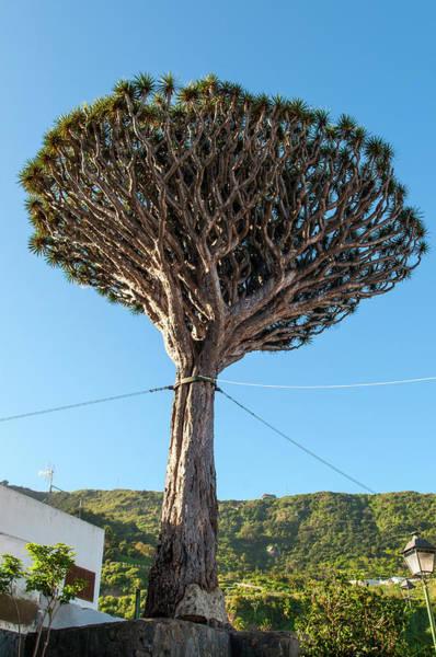 Canary Photograph - Dracaena Draco, The Canary Islands by Chris Hepburn