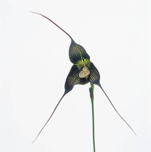 Cut Out Photograph - Dracula Orchid by Micha Pawlitzki