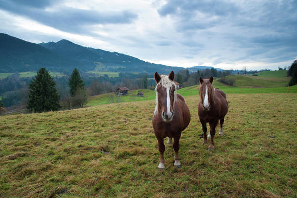 Curiosity Photograph - Draft Horses Standing In Front Of by Olaf Broders