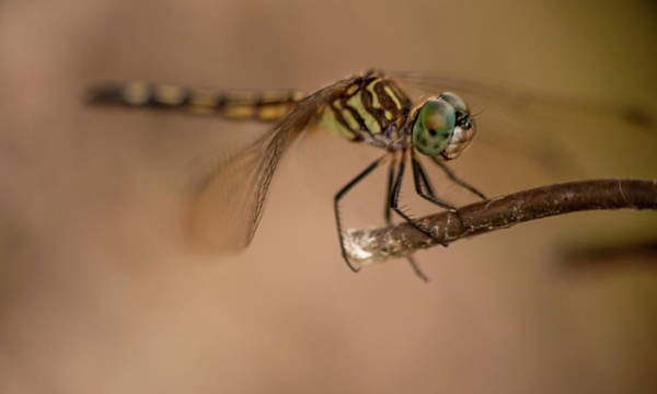 Photograph - Dragon Fly by Karen Rispin