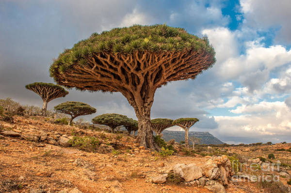 Wall Art - Photograph - Dragon Trees At Dixam Plateau, Socotra by Javarman