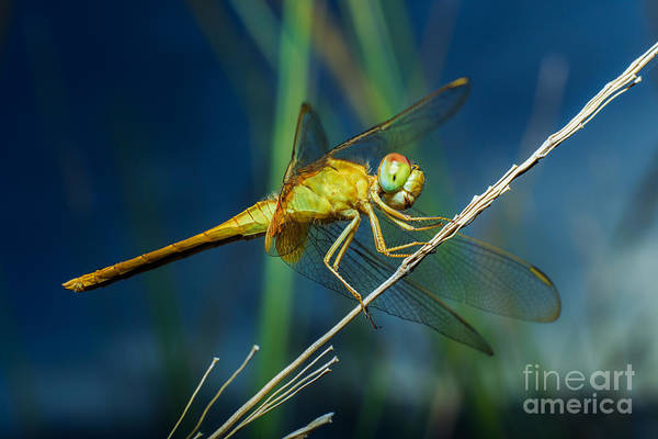 Wall Art - Photograph - Dragonflies, Insects, Animals, Nature by Boyphare