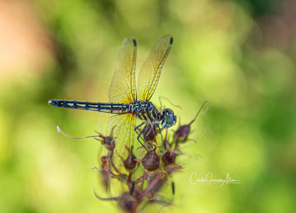 Wall Art - Photograph - Dragonfly II by Connie Allen