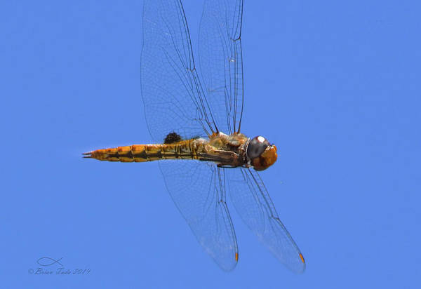 Photograph - Manually Focused Dragonfly, In Flight by Brian Tada