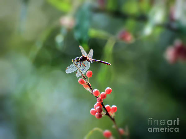 Photograph - Dragonfly In The Berries by Kerri Farley
