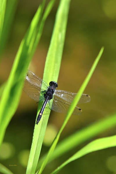 Photograph - Dragonfly In The Sun by Christina Rollo