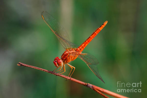 Wall Art - Photograph - Dragonfly, Macro Dragonfly, Dragonfly by Wanida Tubtawee