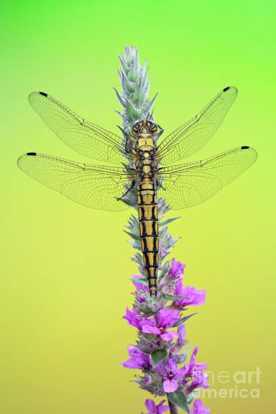 Photograph - Dragonfly On Flower by Marco Fischer