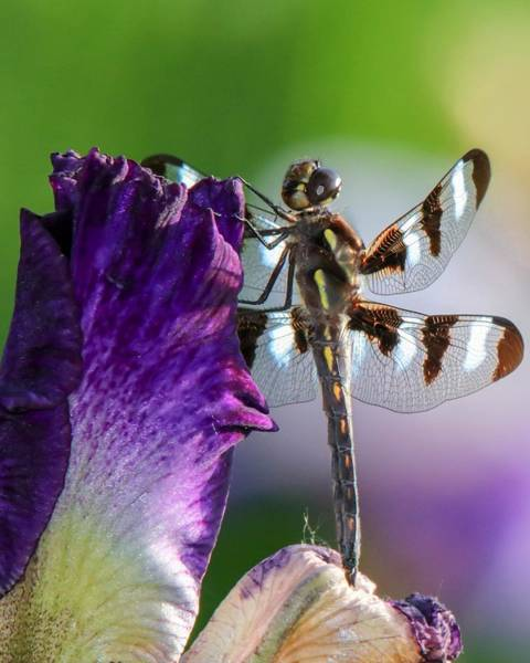 Dragonfly On Iris Art Print