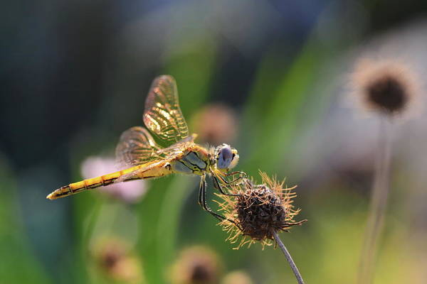 Insect Photograph - Dragonfly by Provence And France Pictures