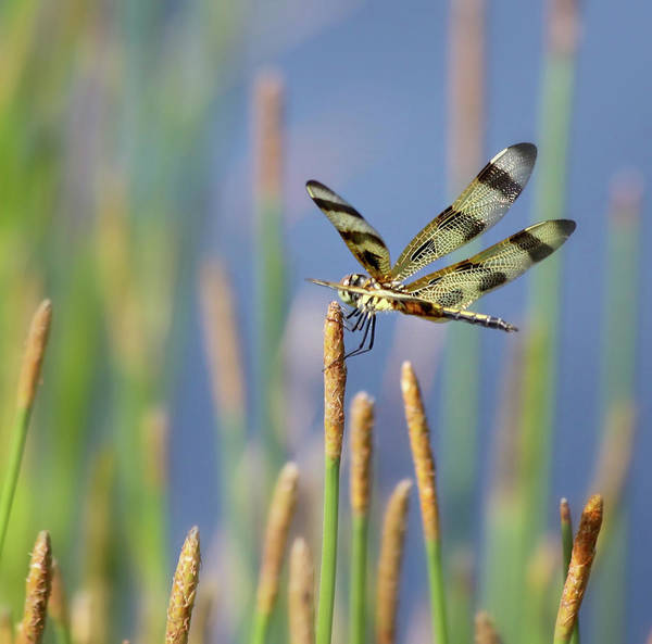 Resting Photograph - Dragonfly Resting On Reed by Kim Hojnacki
