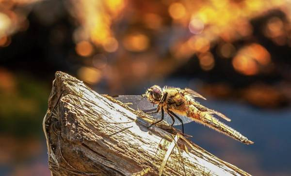 Photograph - Dragonfly by Rose-Marie Karlsen
