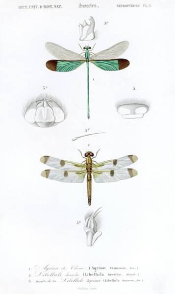 18th Century Digital Art - Dragonflys,historic Scientific by Goldhafen