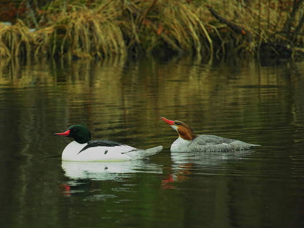 Photograph - Drake And Hen Common Merganser by Dale Kauzlaric